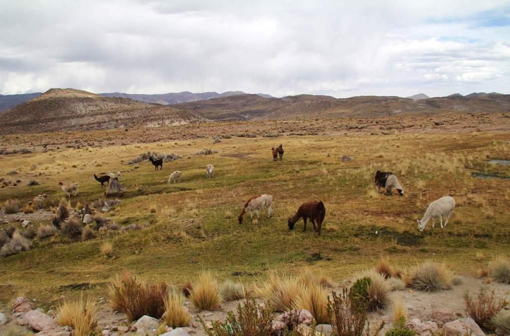 I see llamas